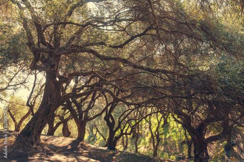 Poster Olives jardin