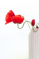 Red translucent poppy flower petals in sunbeam. Summertime outdo
