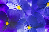 Fototapety pansy flower close up - flower background
