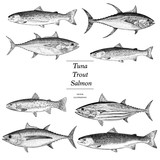 Tuna, Trout and Salmon Illustration