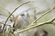 Dunnock perched in a bush
