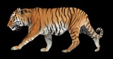 Tiger walking. Isolated and cyclic animation. Alpha channel.