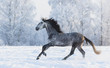 Purebred horse galloping across a winter snowy meadow
