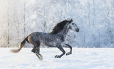 Purebred horse galloping across a winter snowy meadow - 103985511