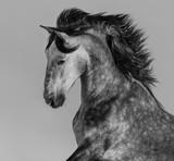 Dapple-grey Andalusian stallion - portrait in motion
