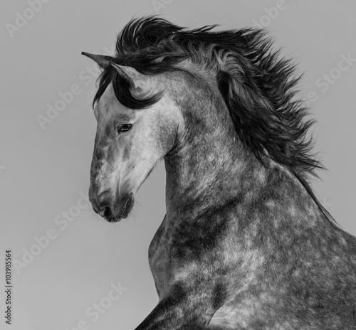Poster Dapple-grey Andalusian stallion - portrait in motion