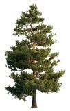 Fototapety Pine tree isolated on white