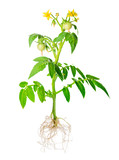 blossoming young seedling of fresh green tomatoes fruit with exp