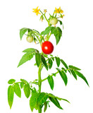 young green seedling of fresh ripe red tomatoes fruit and flower