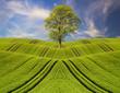Obrazy na płótnie, fototapety, zdjęcia, fotoobrazy drukowane : samotne zielone drzewo na zielonym polu na tle błękitnego nieba
