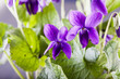Violets in a bunch