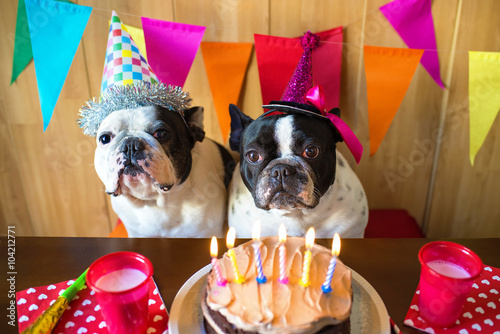 Zdjęcia na płótnie, fototapety, obrazy : Couple of dogs on birthday party