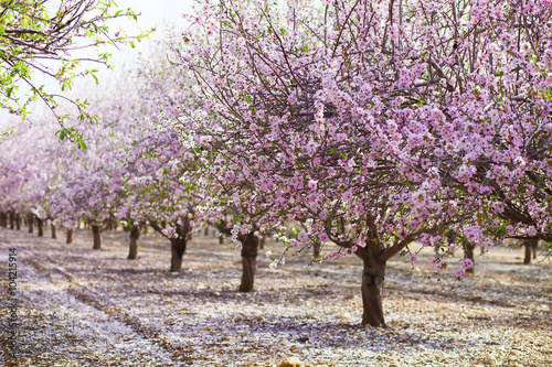 Poster Alley of pink almond trees