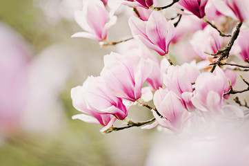 beautiful magnolia tree © emmi