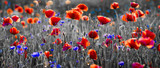 Panorama czerwonych maków i błękitnych chabrów bławatków