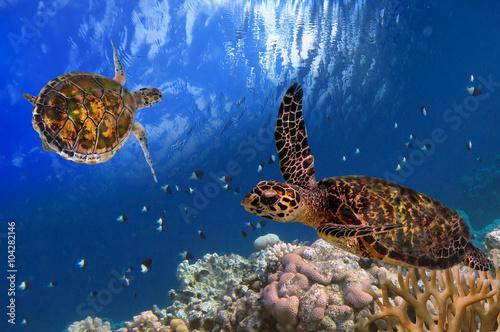 Plakát, Obraz Maledivské Sea Turtle Plovoucí