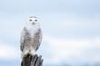 Snowy Owl, Bubo Scandiacus