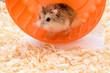 Hamster enthusiasts treadmill