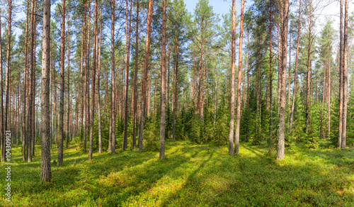 Summer fir forest panorama