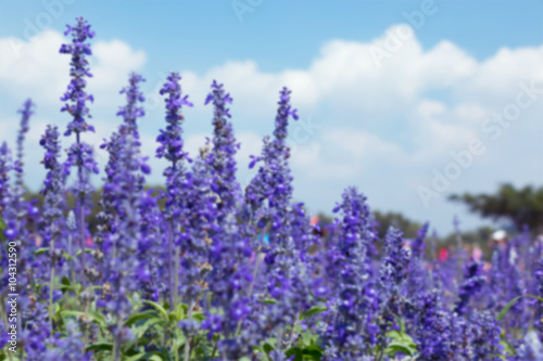 lavender field © jtas