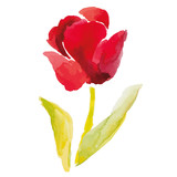 Red tulip on the white background. Popular spring flower. Watercolor vector hand drawn illustration.