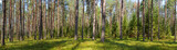 Summer conifer forest panorama