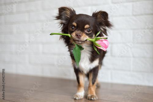 Zdjęcia na płótnie, fototapety, obrazy : chihuahua dog standing with a pink rose