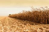 Corn harvesting time
