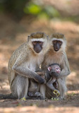 Pair of velvet monkeys sitting on the ground, taking care of their baby, Tanzania, Afriva