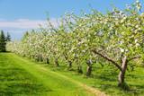 Springtime apple orchard at the peak of bloom.