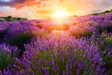 Sunset over a violet lavender field - Fine Art prints