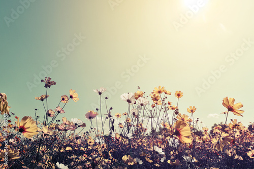 Obraz na plátne Vintage landscape nature background of beautiful cosmos flower field on sky with sunlight