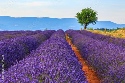 Aluminium Snoeien Lavender field summer landscape near Sault