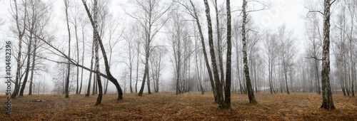 birch forest with melting snow in spring