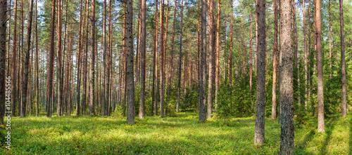 Keuken foto achterwand Bossen Panoramic view of fir forest on a summer day