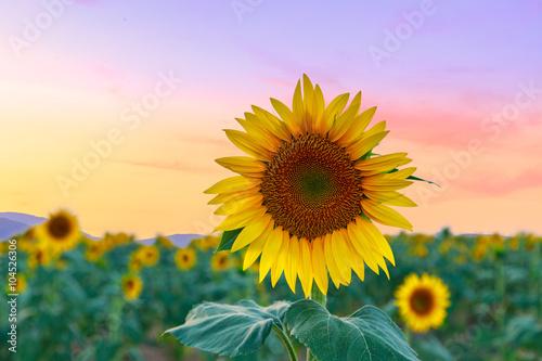 Fotobehang Purper Sunflower field