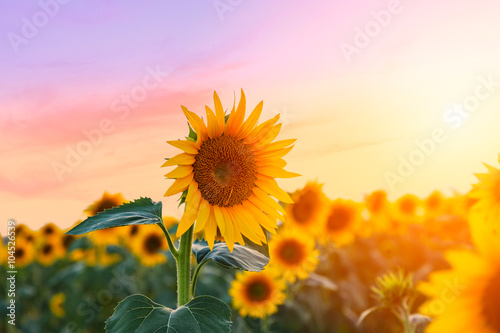 Tuinposter Purper Sunflower field