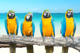 Fototapety Blue and Gold Macaw on tropical beautiful beach and sea