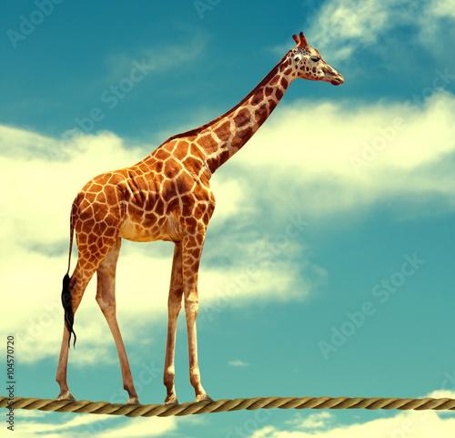Fototapeta giraffe on rope