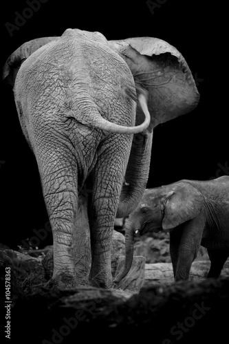 Fototapeta Two elephants form back side