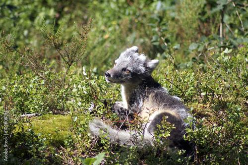 Poster Vulpes lagopus arctic fox in sun in norwegian zoo