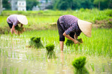 Rice transplanting in Vietnam