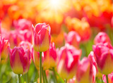Beautiful colorful tulips, close-up.