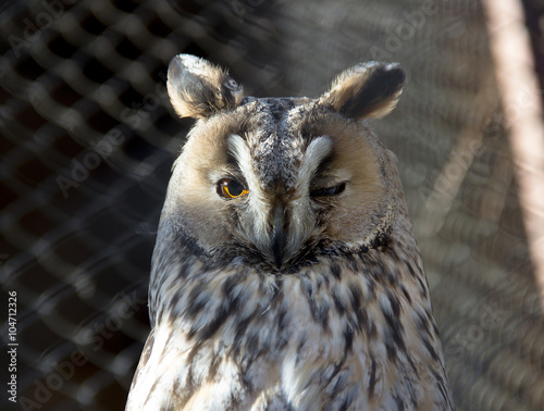 A long-eared owl (Asio otus) Poster