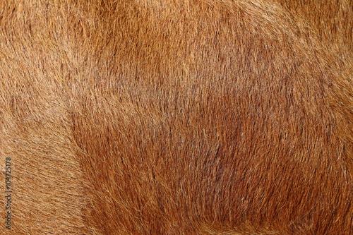 Alive cow fur skin macro Poster