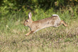 Wild rabbit jumping