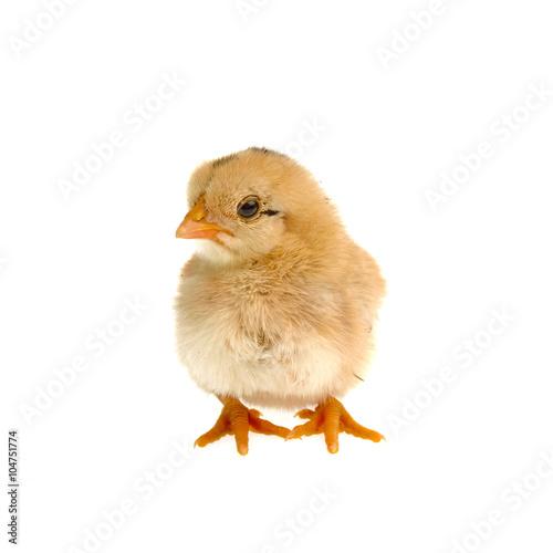Staande foto Kip Cute little chicken isolated on white background