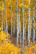 Aspen in Fall, Grand Tetons National Park, Wyoming, USA