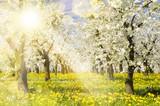 Plantage mit Apfelbäumen und Sonnenstrahlen im Gegenlicht - 104808700