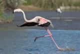 Running flamingo, Camargue, France